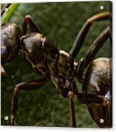 Ant On A Leaf Acrylic Print by Ryan Kelly