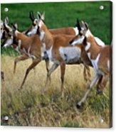 Antelope 1 Acrylic Print