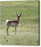 Antelope 3 Acrylic Print