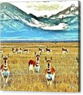 Antelope At Attention Acrylic Print