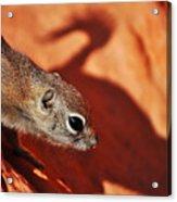 Antelope Ground Squirrel II Acrylic Print