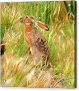 Antelope Jackrabbit Acrylic Print