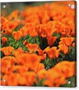 Antelope Valley California Poppies Acrylic Print