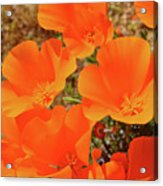 Antelope Valley Poppy Portrait Acrylic Print