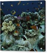 Anthias Fish, Anemonefish And Basslets Acrylic Print