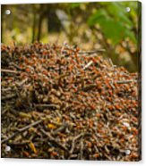 Anthill In Forest Acrylic Print
