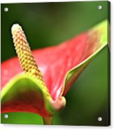 Anthurium Blossom Acrylic Print
