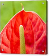 Anthurium Close-up Acrylic Print