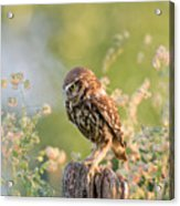 Anticipation - Little Owl Staring At Its Prey Acrylic Print