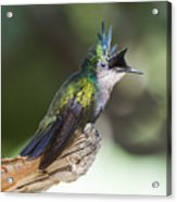 Antillean Crested Hummingbird On Stick Acrylic Print