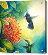 Antillean Crested Hummingbirds And Ixora Acrylic Print