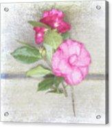 Antique Camellias Square Acrylic Print