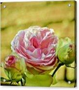 Antique Pink Rose Acrylic Print