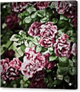 Antique Pink Roses Acrylic Print