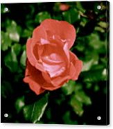 Antique Rose Acrylic Print