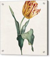 Antique Tulip Print Acrylic Print