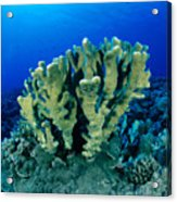 Antler Coral Acrylic Print