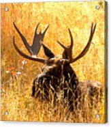 Antlers In The Golden Grass Acrylic Print