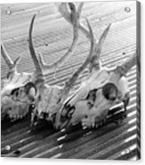 Antlers On Tin Roof Acrylic Print by Thomas R Fletcher