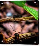 Ants Adventure Acrylic Print