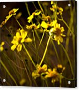 Anza Borrego Desert Sunflower 4 Acrylic Print