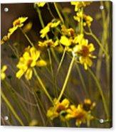 Anza Borrego Desert Sunflowers 1 Acrylic Print