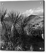 Anza-borrego Yuccas Acrylic Print