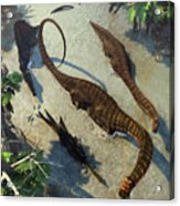 Apatosaurus From Above Acrylic Print