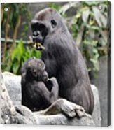 Apes Acrylic Print