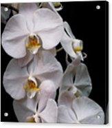 Aphrodite - White Orchid Acrylic Print