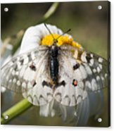 Apollo Butterfly Acrylic Print