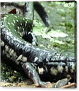 Appalachian Slimy Salamander Acrylic Print