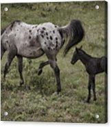 Appaloosa And Baby Acrylic Print