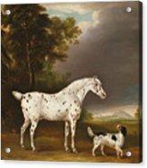 Appaloosa Horse And Spaniel Acrylic Print