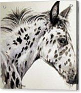 Appaloosa Acrylic Print
