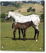 Appaloosa Mare And Foal Acrylic Print