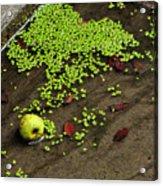 Apple And Algae In Dam Overflow Acrylic Print