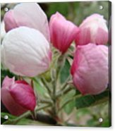 Apple Blossom Buds Art Prints Spring Blossoms Baslee Troutman Acrylic Print