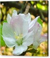 Apple Blossom Close-up Acrylic Print