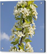 Apple Blossom In Spring Acrylic Print
