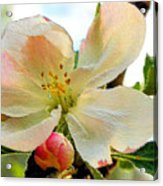 Apple Blossom Acrylic Print