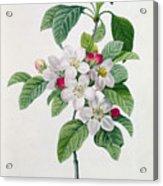 Apple Blossom Acrylic Print by Pierre Joseph Redoute