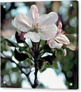 Apple Blossom Time Acrylic Print