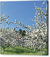Apple Blossom Trees Norway Acrylic Print