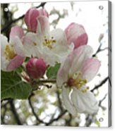 Apple Blossoms - Wild Apple Acrylic Print