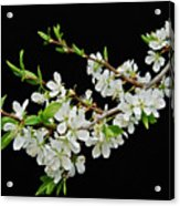 Apple Blossoms 2 Acrylic Print