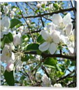 Apple Blossoms Art Prints 60 Spring Apple Tree Blossoms Blue Sky Landscape Acrylic Print