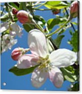 Apple Blossoms Art Prints Blue Sky Spring Baslee Troutman Acrylic Print