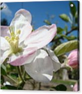 Apple Blossoms Art Prints Canvas Blue Sky Pink White Blossoms Acrylic Print