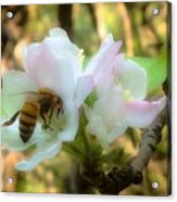 Apple Blossoms With Honey Bee Acrylic Print